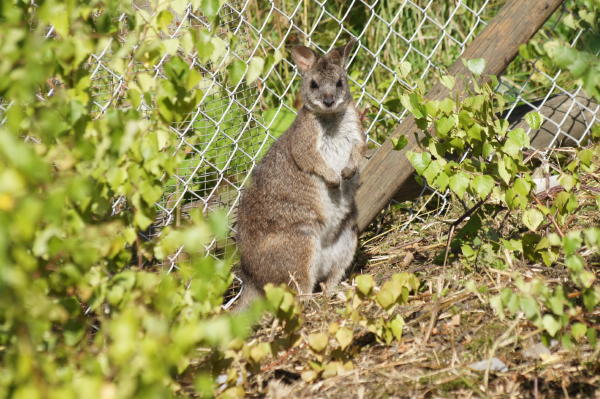Mini kænguru til salg